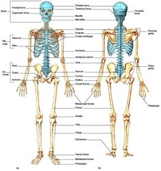 skeletal system head