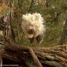 sheepdog06