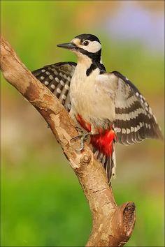 Great Spotted Woodpecker (Dendrocopos major) photo by antonio bortoli Most Beautiful Birds, Pretty Birds, Love Birds, Exotic Birds, Colorful Birds, Spotted Woodpecker, World Birds, Kinds Of Birds, Nature Animals