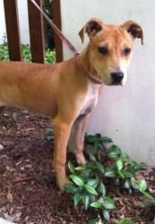 WIGGLES -  (Patio) is an adoptable Terrier Dog in Baton Rouge, LA. Hi, im Wiggles! I am about 3-4 months old, and weigh 20 lbs. Thats what the vet people said when they were giving me my shots and st...
