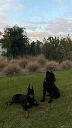 Perro Doberman Pinscher, Doberman Dogs, Dobermans, Cute Baby Animals, Animals And Pets, Cute Puppies, Cute Dogs, Corso Dog, Beautiful Dogs