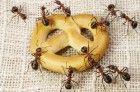 remedios-caseiros-para-acabar-com-as-formigas