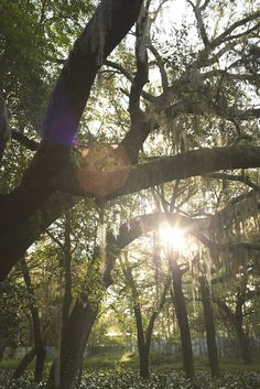 Typical Picturesque Oak Tree Hammock complete with Sunshine and Spanish Moss at Ronald Jones Ferneries.