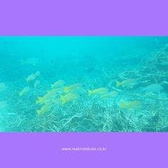 [#itsyourtrip] 리얼몰디브 모하메드와 함께한 2016년 7월 몰디브 여행 - 포시즌스 쿠다후라 2탄    http://blog.naver.com/mode5683/220773105060
