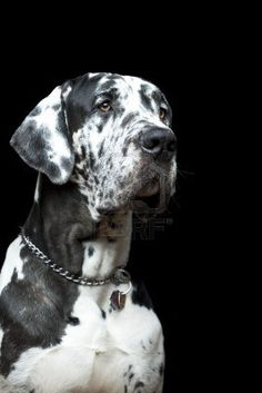 Great Dane...wow what a pretty dog