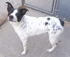 My name is DOTTIE. My Animal ID # is A1100709. I am a spayed female white and black eng sprngr span mix. The shelter thinks I am about 6 YEARS old.  I came in the shelter as a OWNER SUR on 12/29/2016 from NY 10034, owner surrender reason stated was NO TIME.