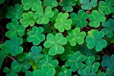 Shamrocks in Muir Woods.
