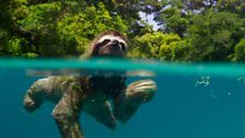 Pygmy three-toed sloth swimming