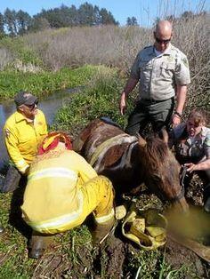 Horse rescue on Clam Beach
