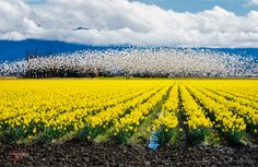 snow geese and daffodils