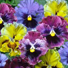 parts of a pansy flower   Flowers Flower Plants Hanging Basket Plants Pansy 'Chalon Mixed'