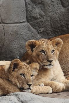 Lion Cubs by Dieter Müßler | LVSH