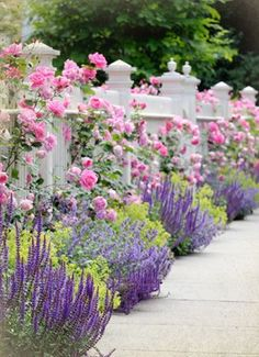 Climbing roses on white fence bordering garden and sidewalk. Salvia (sage), catmint and lady's mantle.