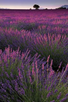 Glorious purple lavender fields  at sunset in Aix en Provence, France