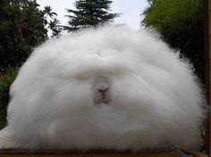Angora rabbit. Rather fluffy...