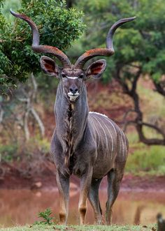 Magnificent Kudu. Image courtesy of Sheldrickfalls