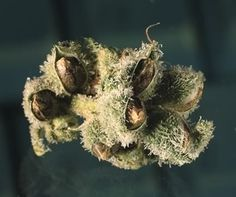 How to grow marijuana, germination and growing tips for beginners. Weed seeds, where to buy and what to look for when you want to grow your own cannabis indoors. http://growing.proseeds.com/