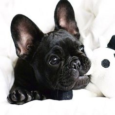 Baby frenchie, soo adorable!