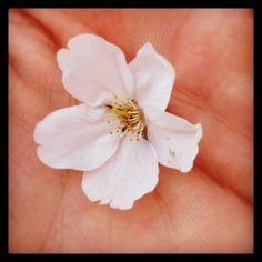 Petals of cherry blossoms