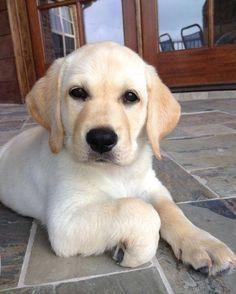 Untitled In 2020 Labrador Puppy Cute Puppies Labrador