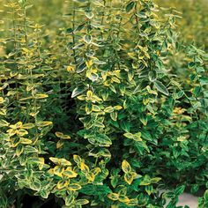 Euonymus fortunei 'Emerald 'n' Gold' plants from Thompson & Morgan - experts in the garden since 1855 Low Maintenance Garden, Hardy Plants, Trees And Shrubs, Small Gardens, Potted Plants, Emerald, Seeds, Flowers, Gold