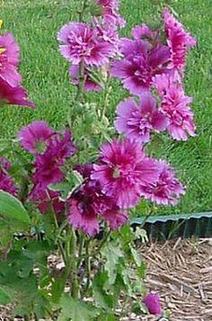 Hollyhock 'Queeny Purple' (Alcea rosea) Beautiful Gardens, Beautiful Flowers, Hollyhock, Houseplants, Hibiscus, Purple, Pink, Orchids, Cactus