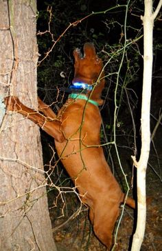 Photo Gallery - Triple I Kennels - Redbone Coonhounds Redbone Coonhound, Red Bone, Rabbit Hunting, Hunting Dogs, Doggies, Dogs And Puppies, Bloodhound Dogs, Pets 3, Large Dog Breeds