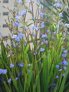 Moreia-Azul (Aristea ecklonii) - FazFácil