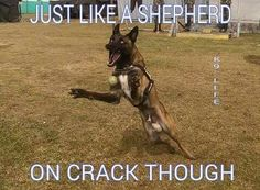 """There are no """"pet"""" malinois. they're all too psychotic for civilian life lol Military Working Dogs, Military Dogs, Police Dogs, Belgium Malinois, Belgian Malinois Dog, German Shepherd Memes, Belgian Shepherd, German Shepherds, Boy Dog Names"""
