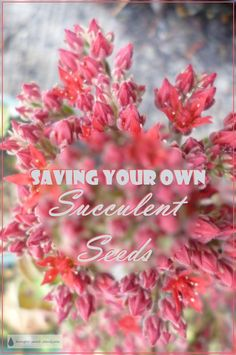 Saving Your Own Succulent Seeds - way more economical, and way more fun... Gardening | Succulents | Propagation