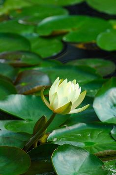 e35570d681c1 DSC_0054 by radishhai, via Flickr Water Flowers, Water Lilies, Red Lily,  Yoga
