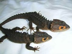 Red eyed crocodile skink Pet Lizards, Reptiles, Red Eyed Crocodile Skink, Red Eyes, Terrarium, Exotic, Pets, Animals, Crocodiles