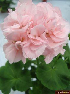 Pink geraniums for a wedding very charming weddings pinterest mrbacka geranium mightylinksfo