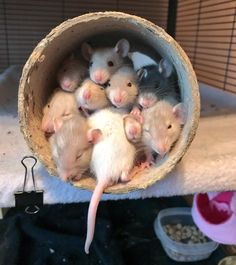 "deadmutt:"" I felt it was necessary that everyone saw this picture of my rats–this is one of the best things ive ever seen tysm"" Funny Rats, Cute Rats, Cute Funny Animals, Animals And Pets, Baby Animals, Fluffy Animals, Rats Mignon, Dumbo Rat, Cute Mouse"