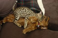 """Drawn together by a shared passion for comfy unconsciousness -- """"Our Bengal, Kittie resting with Kai, a miniature longhair dachshund, after some exhausting but fun time playing together. They were about 4 or 5 months old at the time."""" Photo by AceNZ on flickr, 2007"""
