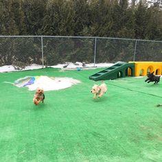 Go dog go!! Paco Cody & Ayanna! #tinydogs #yorkie #silkyterrier #catchmeifyoucan #happydogs #ilovedogs #dogsjustwannahavefun #doglife Image By: thebrowndoginn
