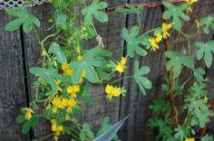 Canary creeper vine.