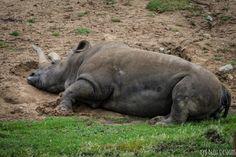 Animal photography - Rhinoceros - Nola - Wildlife - Nature photography - white rhino - photo print - wall art - home decor by LysBleuDesigns on Etsy https://www.etsy.com/listing/274687176/animal-photography-rhinoceros-nola