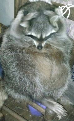 Itches SO bad!  Darbi Raccoon