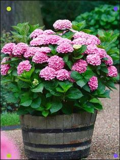 Pink Hydrangeas Look Amazing.- Pink Hydrangeas Look Amazing. Pink Hydrangeas Look Amazing. - Pink Hydrangeas Look Amazing.- Pink Hydrangeas Look Amazing. Pink Hydrangeas Look Amazing. Hydrangea Potted, Hydrangea Garden, Pink Hydrangea, Hydrangeas, Hydrangea Landscaping, Container Flowers, Container Plants, Container Gardening, Gardening Tips