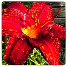Red Lily after the Rain