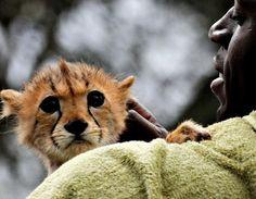 cheetah....