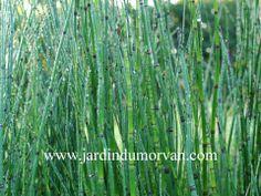 EQUISETUM CAMTSCHATCENSE Comme un bambou à tiges vertes et nues, sans fleurs, sans feuilles ! Hauteur 1,40cm, distance de plantation 50cm, ultra rustique