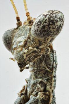 camuflaged eye, praying mantis.