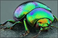 Close up of leaf beetle Leaf Beetle, Beetle Insect, Insect Art, Especie Animal, Cool Bugs, Coat Of Many Colors, A Bug's Life, Beautiful Bugs, Bugs And Insects