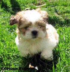 13 Best Shih Tzu Maltese Mix Images Cute Puppies Fluffy Animals