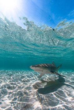 Shark/requin/tiburon – Home Decor Wholesalers Shark Pictures, Shark Photos, Shark Pics, Ocean Underwater, Underwater Animals, Beautiful Sea Creatures, Shark Art, Cute Shark, Underwater Photographer