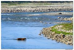 Rathika Ramasamy Photography    Tiger scape-Tiger crossing Ram Ganga river @Dhikala,Jim Corbett National park