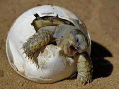 Googlehatching turtle