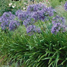 osmanthus x burkwoodii ideas for garden pinterest terrace. Black Bedroom Furniture Sets. Home Design Ideas